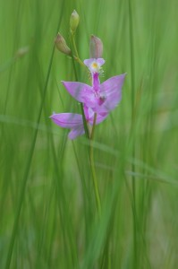 grass-pink orchid along the Pigeon River